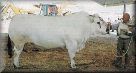 Marchigiana Cattle 3157